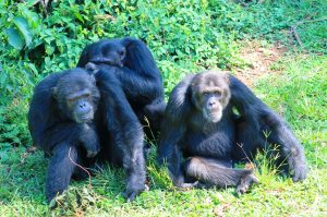 1 Day Ngamba Island Chimpanzee Tour