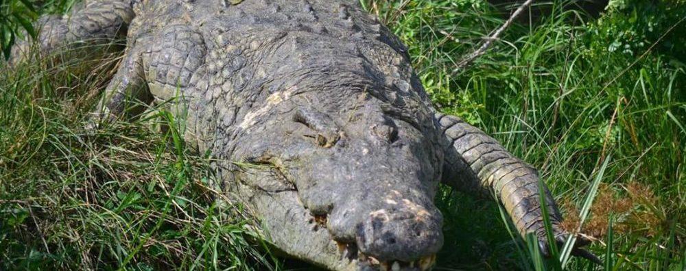 Crocodile Uganda