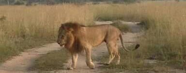 Lion in Murchison Falls National Park