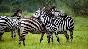 5 Days Gorilla Wildlife Safari Tours - Gorilla Safari Uganda