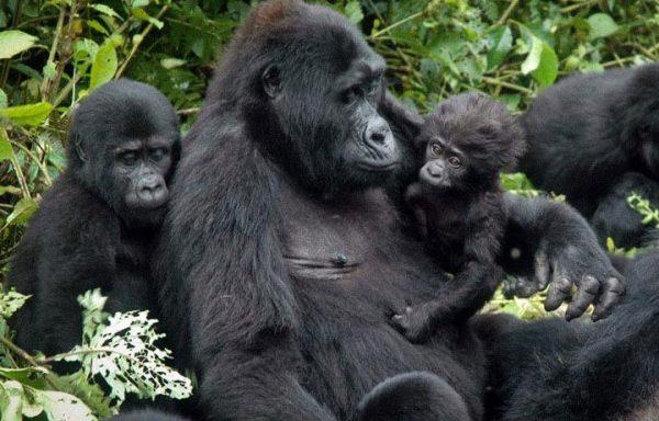 Bwindi Gorilla Tracking Uganda Safaris