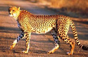 cheetah Uganda