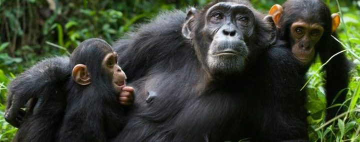 Kibale Island Chimpanzees