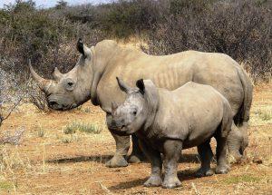 Big Five Tours white rhinos