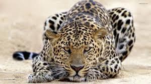 Leopard withBig Five Tours