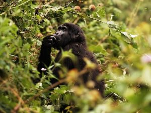 13 Days Gorilla Trekking Uganda Community Safari Tour