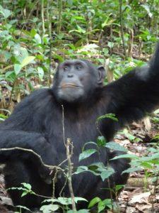 5 Days Wildlife Primate Safari - Chimpanzee Tracking