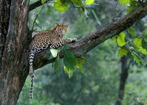 Leopard in Murchison falls