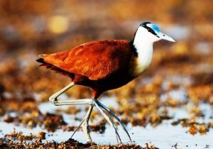Adult African Jacana (Actophilornis africanus) walking on leaves, Lake Baringo, Kenya