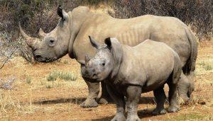 1 Day Rhino Tracking Uganda
