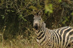 Zebra in Lake Mburo