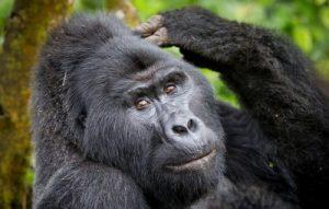 3 Days Gorilla Tracking Mgahinga