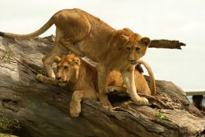 Lions at Kidepo valley PArk