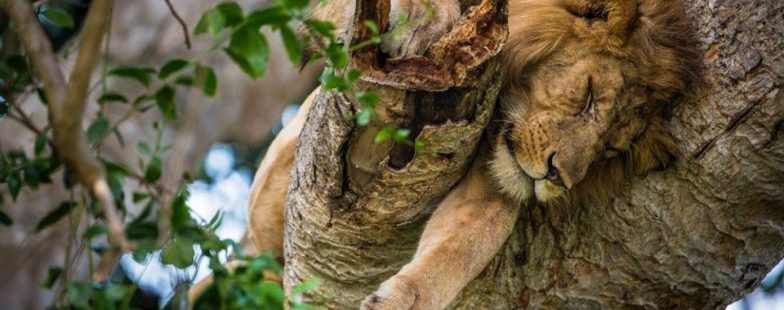 Tree-climbing-king-snoozing-away-in-Ishasha-Plains-Queen-Elizabeth-National-Park-Uganda-by-Marcus-Westberg
