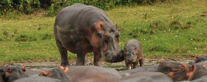 hippo Uganda