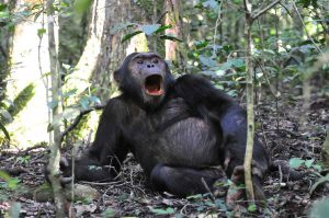 Chimpanzee Tracking Safaris
