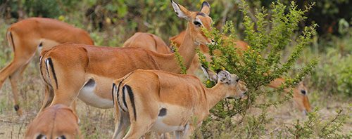 Impalas Lake Mburo