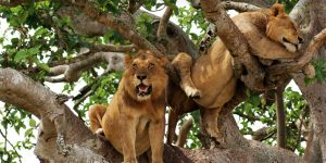 3 Days Tree Climbing Lion Queen Safari