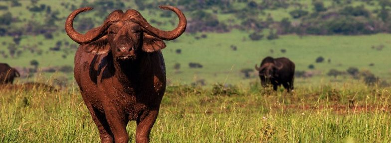 Cape Buffalo Uganda | See The Big Five