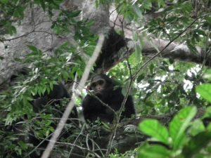 Murchison Falls National Park, Chimpanzee Tracking