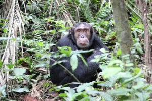 3 days Kibale Chimpanzee Habituation