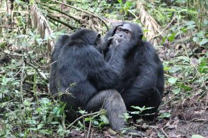 11 Days Uganda Gorilla Wildlife Adventure Safari