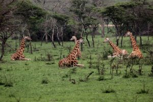 Wildlife Safaris Uganda, Uganda Wildlife Safaris, Wildlife safaris in Uganda