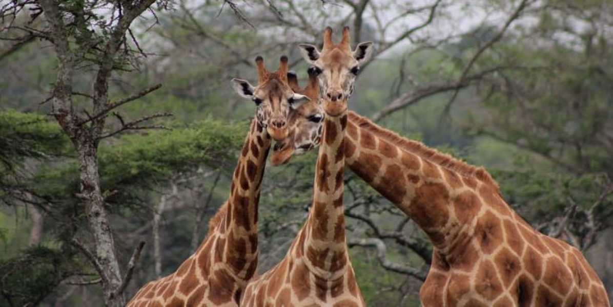 Giraffes Upclose in Lake Mburo National Park