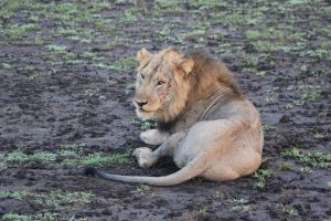 Lion KIng Uganda, Queen Elizabeth National Park Duiker Uganda Safaris