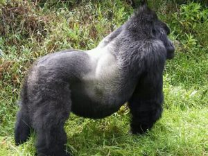 3 Days Bwindi Gorilla Habituation | Habituated Gorillas