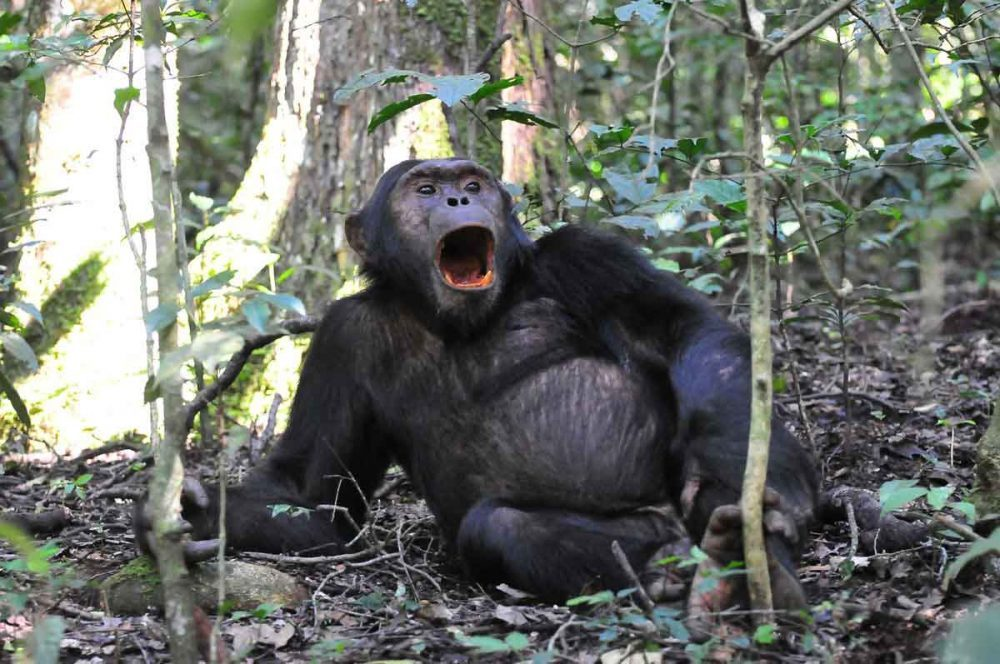 kibale-chimp-tracking-toti